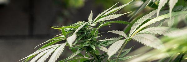 Plantio de maconha medicinal deve ser liberado ainda neste ano, diz Anvisa