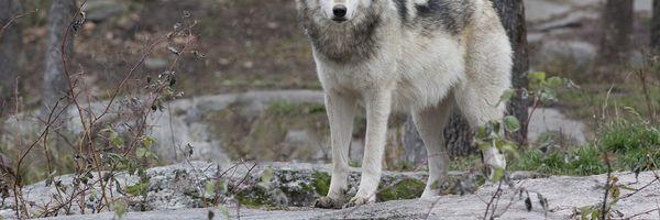 O lobo e a técnica SMART