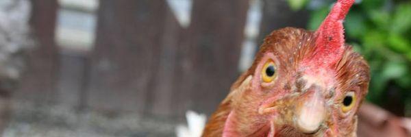 Furto de galinhas e feijão é insignificante mesmo se reincidente, afirma Supremo