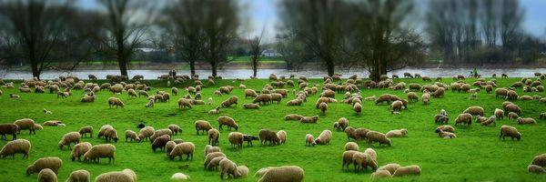 Entre Advogados e Ovelhas