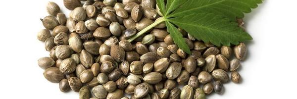 Importação ou posse de semente de maconha não é crime, diz ministro Celso de Mello