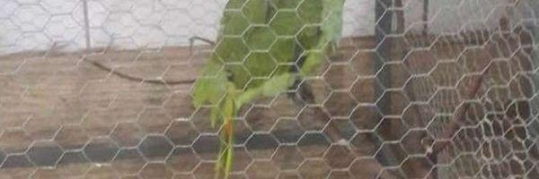 Papagaio avisa sobre chegada de policiais em ponto de tráfico e acaba apreendido