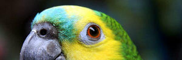 Papagaio silvestre de espécie em extinção não pode voltar para guarda de criador